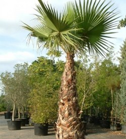 Washingtonia robusta_kat
