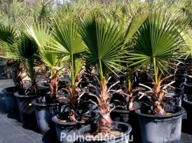 Washingtonia Filifera_01